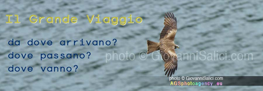 La Migrazione, Nibbio bruno (Milvus migrans) in volo sulla Valsolda, 19 giugno 2016 photo © Giovanni Salici