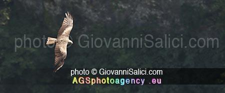 La Migrazione d'autunno, Milvus migrans, Nibbio bruno in volo sulla forra di Valsolda sul Lago di Lugano, 05 agosto 2018 photo © Giovanni Salici