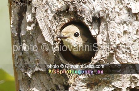 La Migrazione d'autunno, Codirosso Phoenicurus phoenicurusm, femmina ♀ all'uscita dal nido, Morbegno 09 maggio 2021 photo © Giovanni Salici