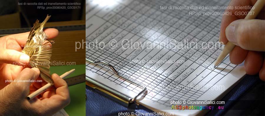 durante La Migrazione, fasi di inanellamento scientifico dopo la cattura temporanea, si osservano le penne e sii compila una scheda co parametri rilevati, Riserva Pian di Spagna, 24 aprile 2008 photo © Giovanni Salici